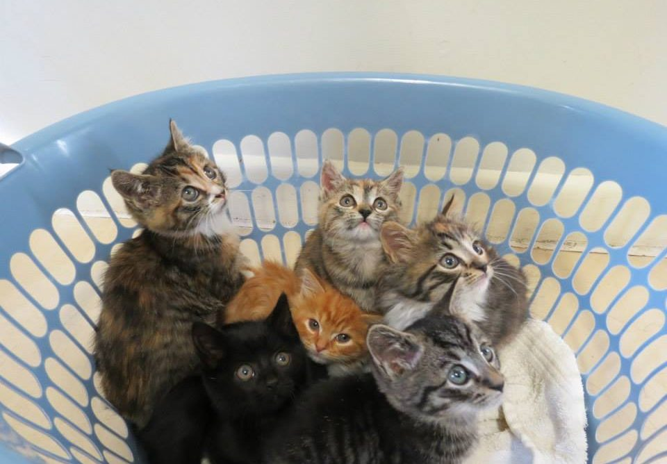Kitten adoptions with full health checks, vaccinations, worming, microchip at East Bentleigh Animal Care Veterinarian