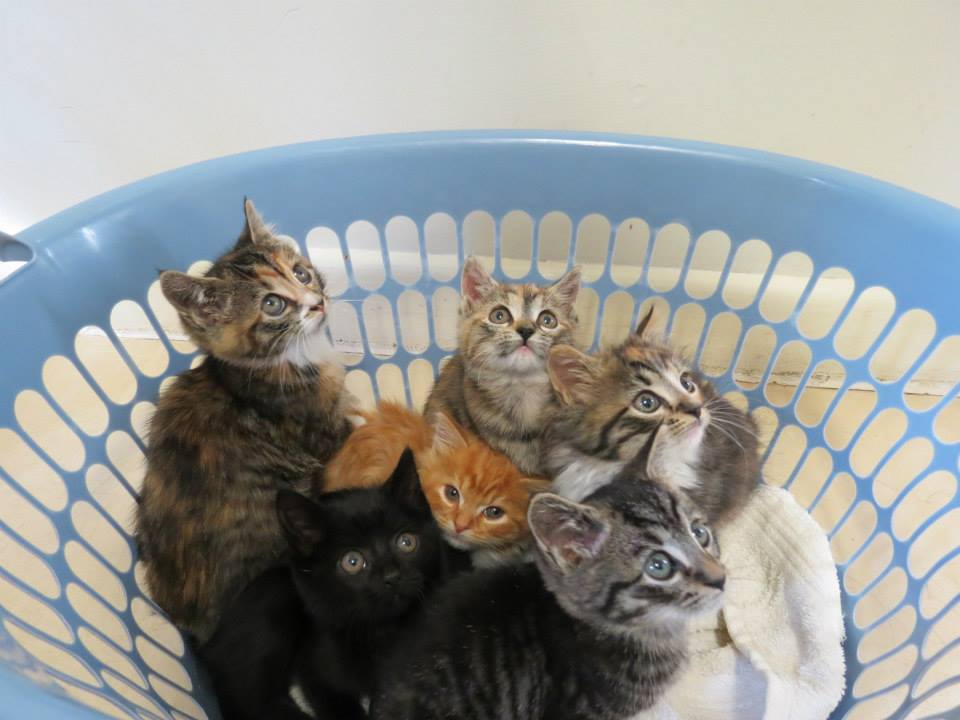 Kitten adoptions with full health checks, vaccinations, worming, microchip at your local vet surgery.